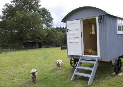 Shepherd hut and sheep